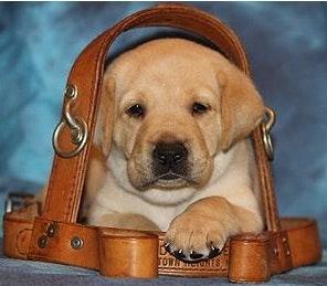 Guiding Eyes For The Blind Erie Puppy Raising Region