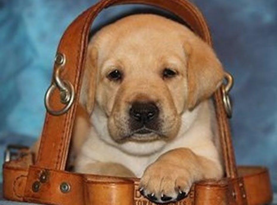 Guiding Eyes For The Blind Erie Puppy Raising Program
