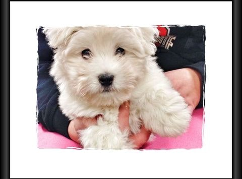 Penda the Coton de Tulear Puppy Has a Broken Heart!