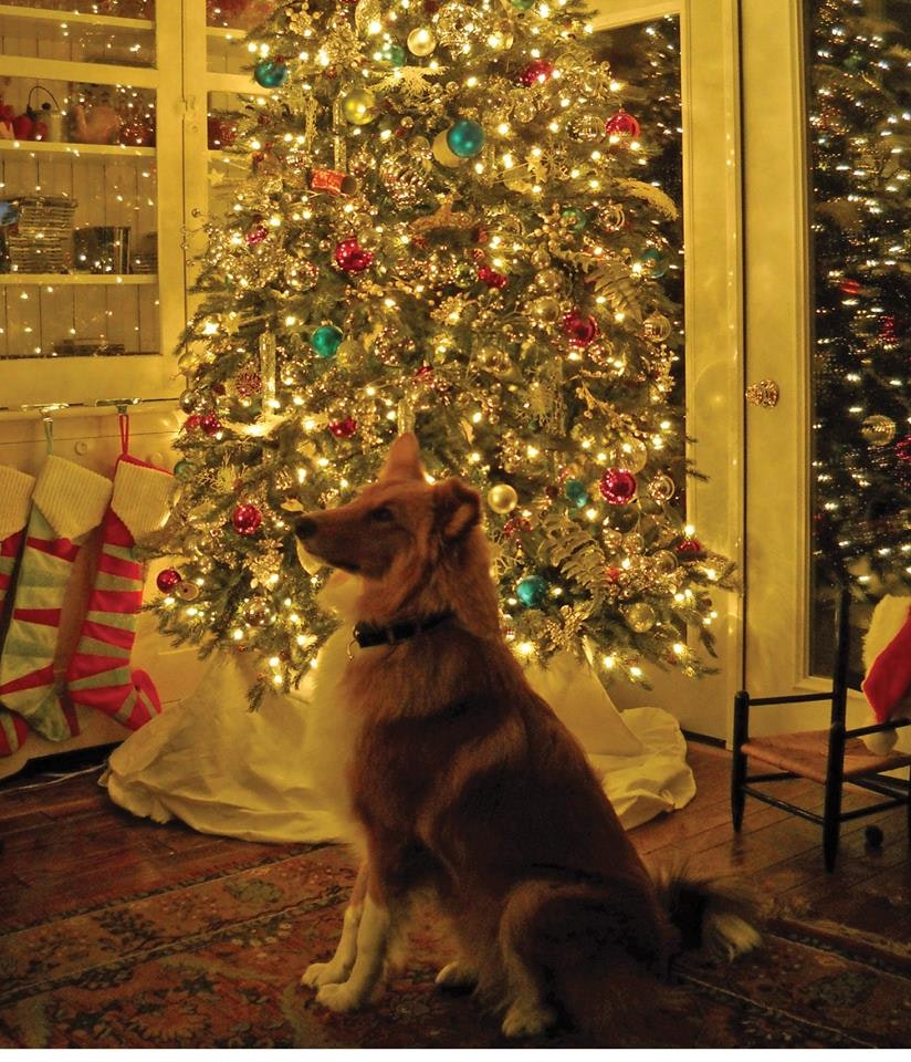 TSCR- A home for the holidays rescue fund ( Tri-State Collie Rescue)