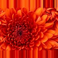 1497396080chrysanthemum