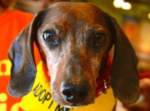 animals & pets fundraising - Mile High Dachshunds Rescue