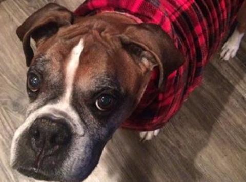 animals & pets fundraising - Northwest Boxer Rescue (501(c)3)