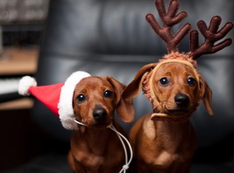 animals & pets fundraising - DREAM Dachshund Rescue