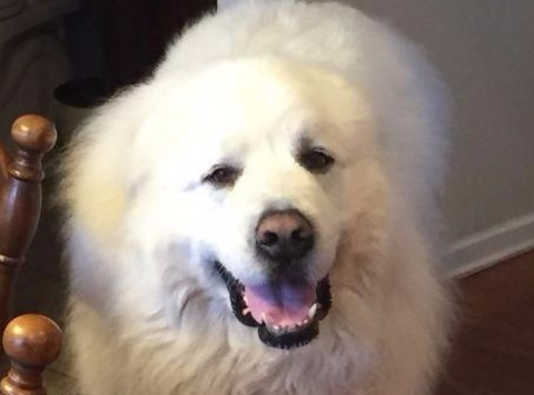 Indy Great Pyrenees Rescue
