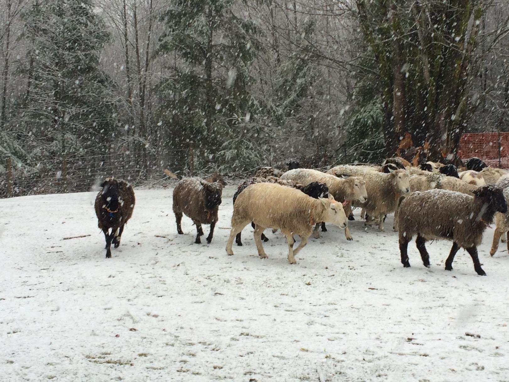 Pacific Northwest Herding Club