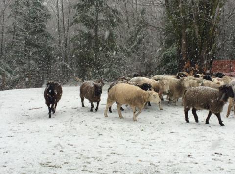 animals & pets fundraising - Pacific Northwest Herding Club