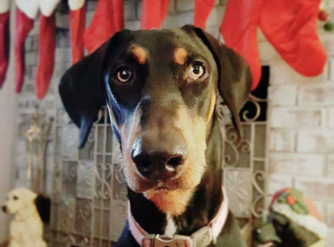 Sweet Home For The Holidays Doberman Rescue