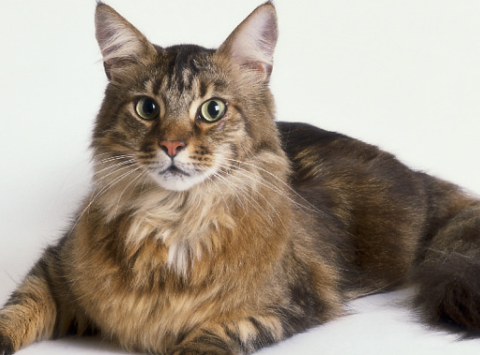 animals & pets fundraising - Maine Coon Rescue