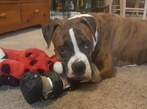 animals & pets fundraising - Northwest Boxer Rescue