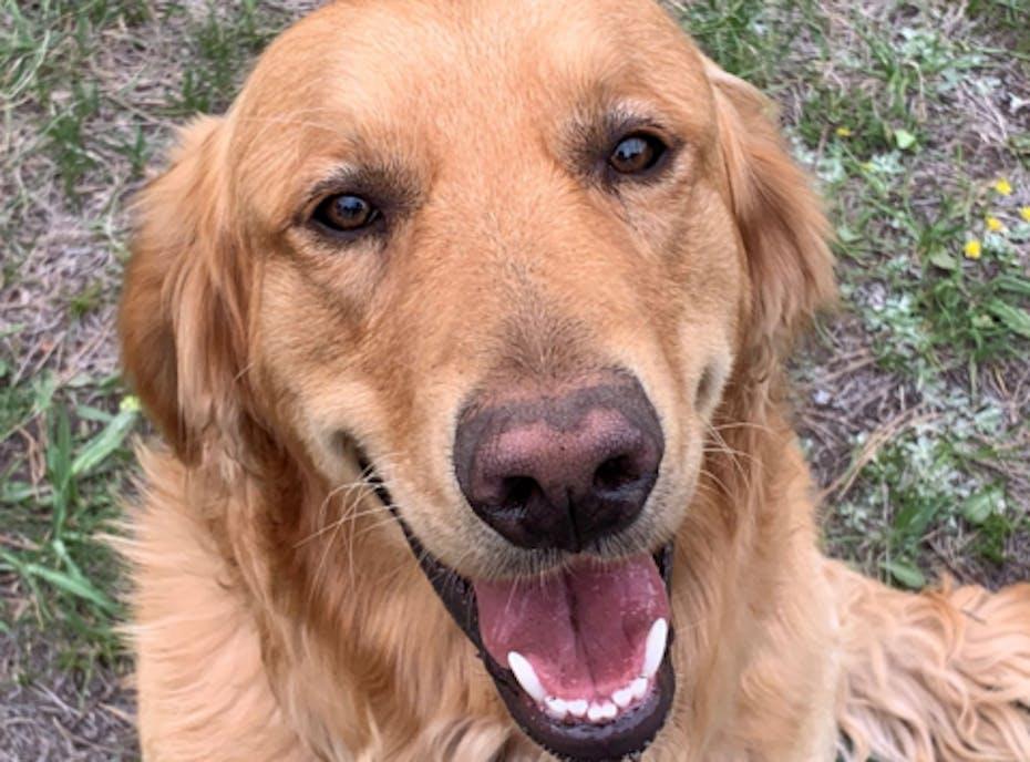 Golden Retriever Freedom Rescue 2020 Holiday Fundraiser