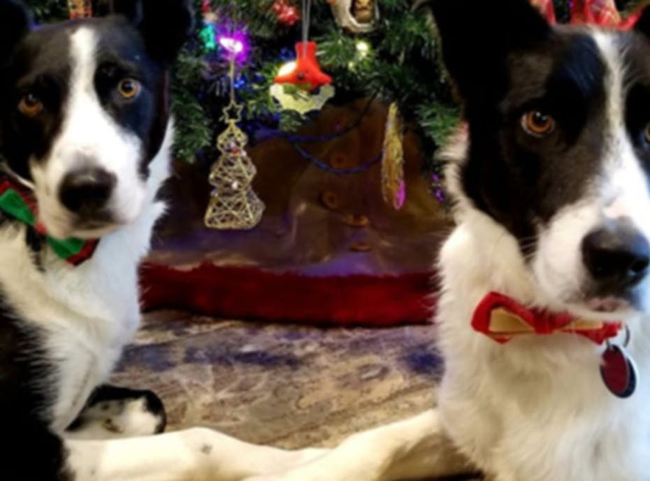 Come Bye Border Collie Rescue 2020 Holiday Fundraiser